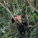Mono Capuchino, líder de su manada
