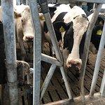 Nicolaashoeve Farm  - Mixed Farm cow pen