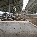 Nicolaashoeve Farm  - Mixed Farm cow barn