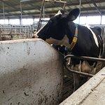 Nicolaashoeve Farm  - Mixed Farm cow barn - ready to be milked