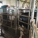 Nicolaashoeve Farm  - Mixed Farm cow barn milking station