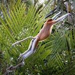 Proboscis Monkeys along Sekonyer River