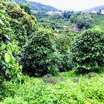 間作蘋婆樹與茶樹的有機茶園