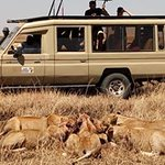 It was a specail day ,one morning when we witnessed worthog been hunted and killed by lions pride members, This  is advantaje of traveling with excellente.IJUE AFRICA SAFARIS.