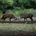 Combat entre deux cerfs.
