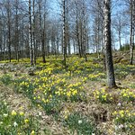 A Fairing Hill Of Millions Of Daffodils
