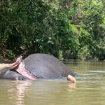 The elephant Mali at the local river getting ready for her bath.