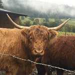 Highland cow - posing for photo!