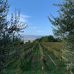 Their active vineyards