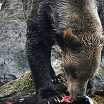 Grizzly Bears Of The Wild