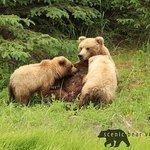 Classic Bear Viewing Tour