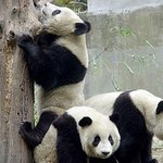 Private Chengdu Day Tour: Giant Pandas and the Jinsha Site Museum