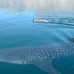 툴룸에서 고래 상어와 함께하는 프라이빗 투어 수영