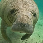 Manatee Sightseeing Eco-Tour by Boat in Naples