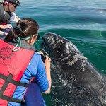 Pacific Grey Whales San Ignacio Lagoon