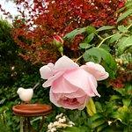 "Ceramic Bird Bath/Feeder with Delbard's ""Nahema"" rose"