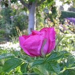 This Damask rose is one of over 350 roses throughout the gardens
