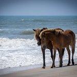 The famous Assateague Horses enjoying a walk along the beach