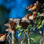 Monarch Butterfly Tour (Partenza da Morelia)
