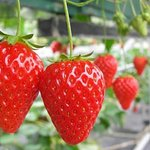Strawberry picking and Ashikaga Park winter illumination
