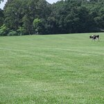 One of the cows in the pasture beside the Creamery Store.