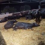 Le bufale