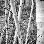 What birch message along the river