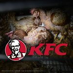 This is how KFC treats chickens.