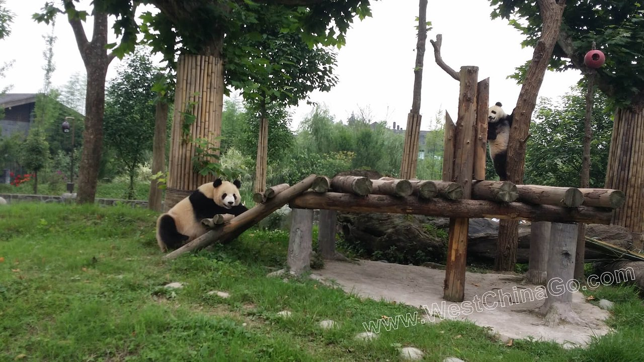 china dujiangyan panda keeper