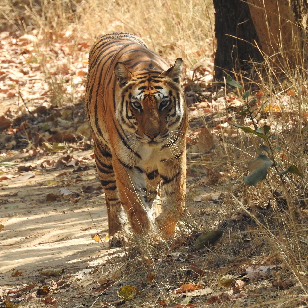 Tiger Safari India (New Delhi) - 2019 Book in Destination - All You