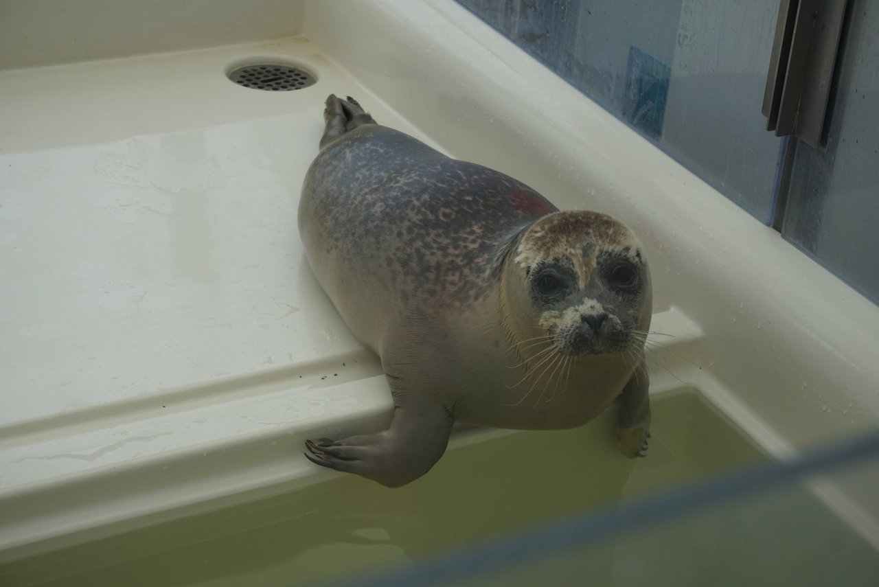 The Petting Zoo 17 Gray Harbor Seal