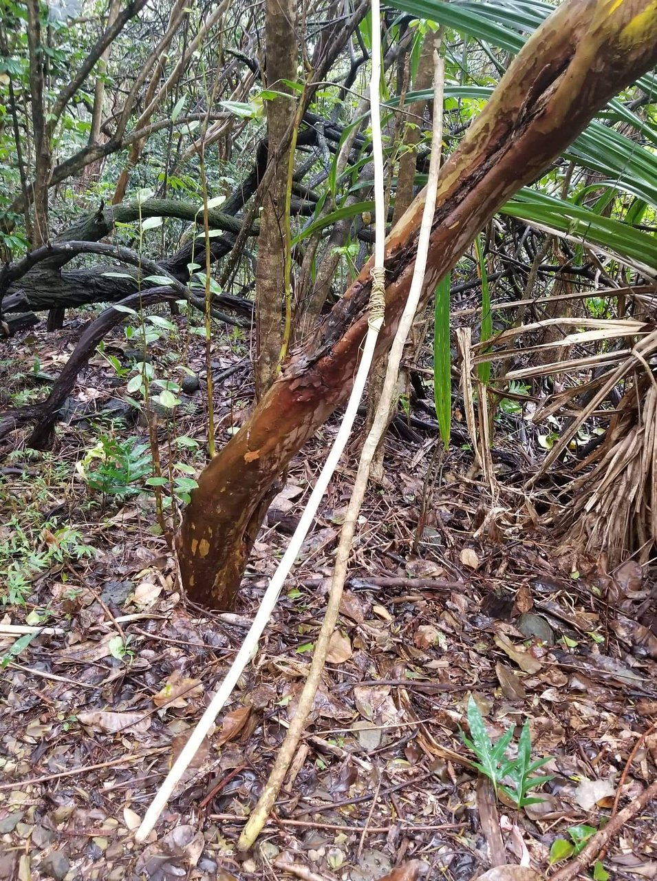 Ma'akua Ridge Trail (Laie) ATUALIZADO 2020 O que saber