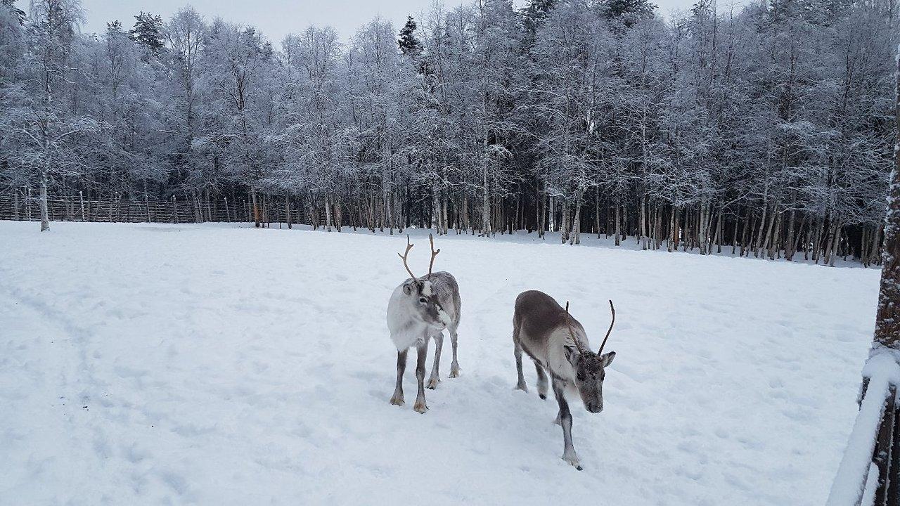 Napapiirin Porofarmi Rovaniemi Suomi Arvostelut