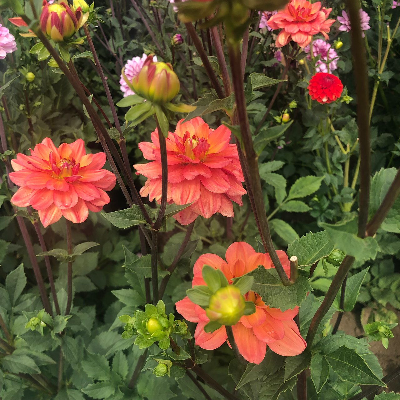 Swan Island Dahlias Canby 2020 All You Need To Know Before You