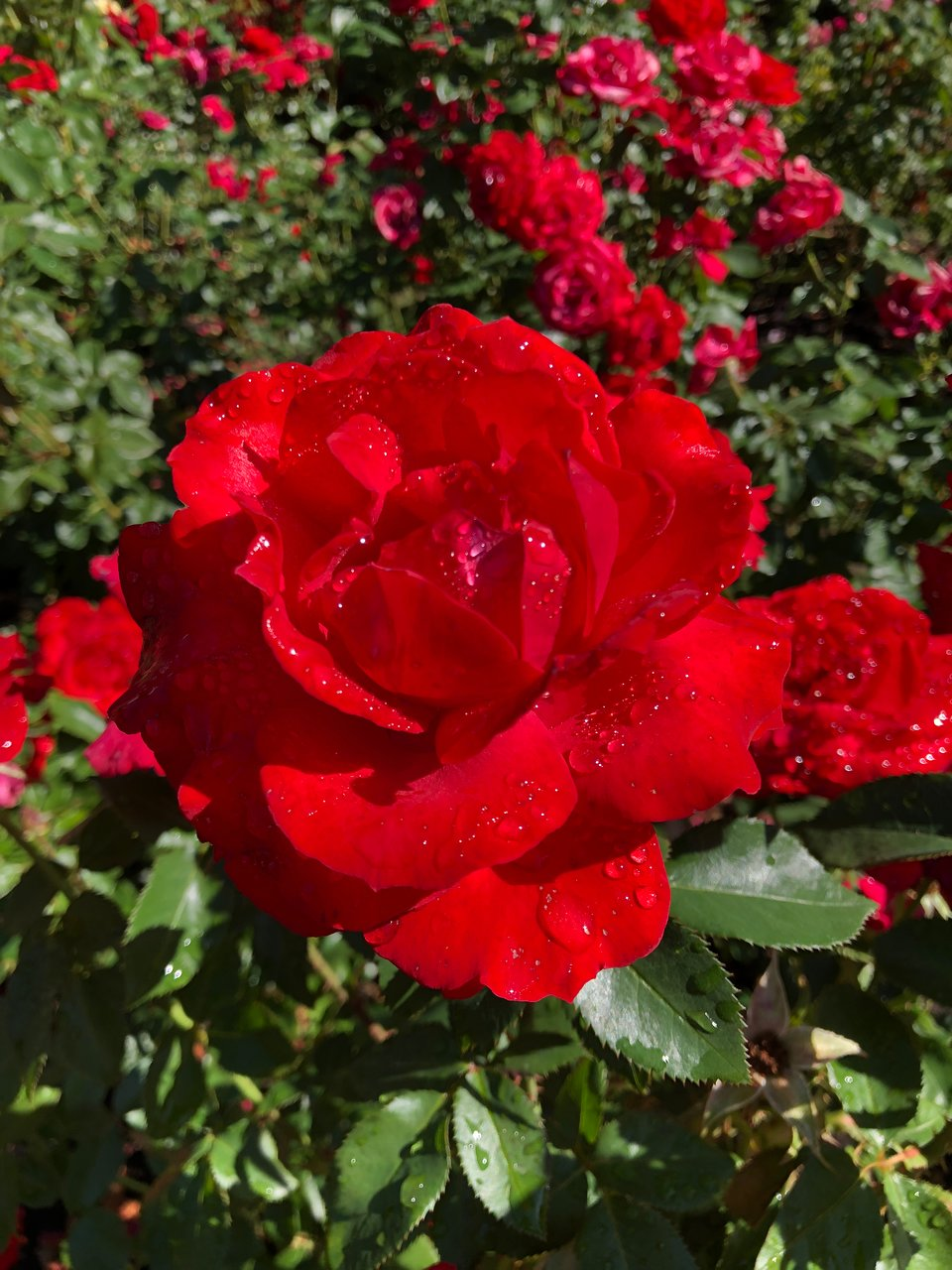International Rose Test Garden Portland 2020 All You Need To