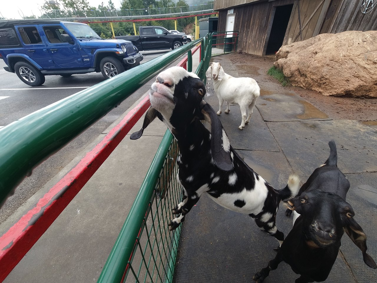 Goats On The Roof Pigeon Forge 2020 All You Need To Know Before You Go With Photos Tripadvisor