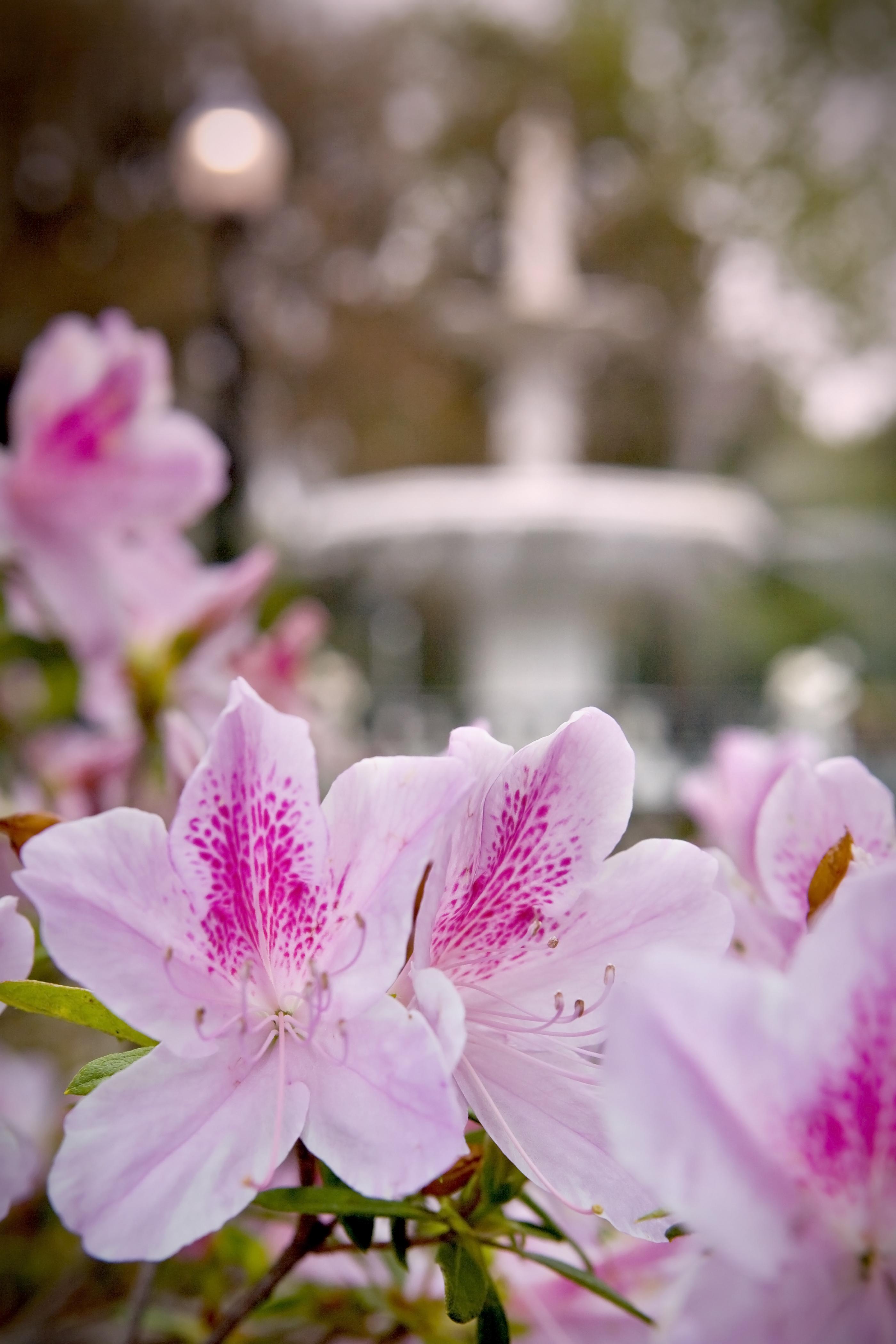 Savannah is famous for her azaleas