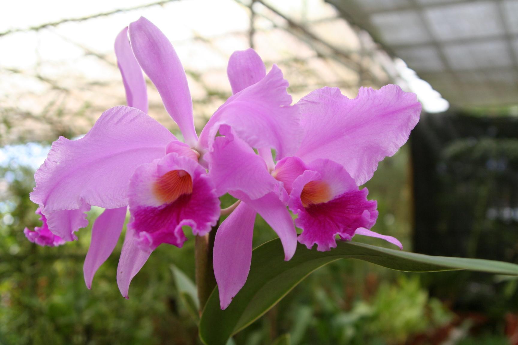 Orchids, Lankester Gardens
