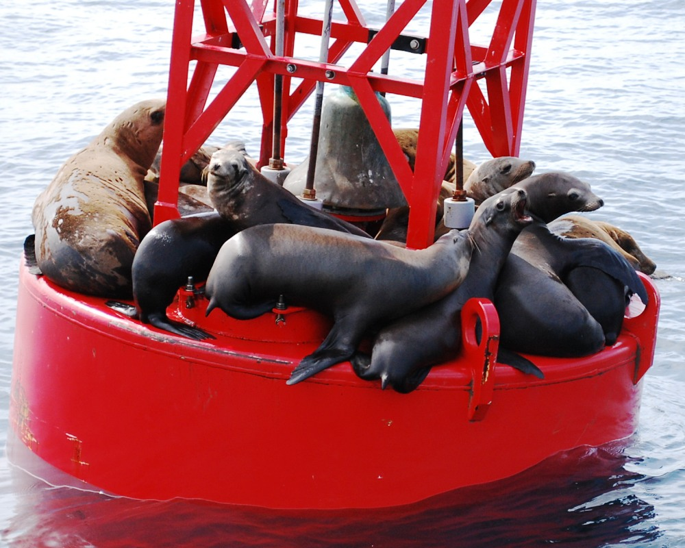 Sea lions outside Newport Harbor