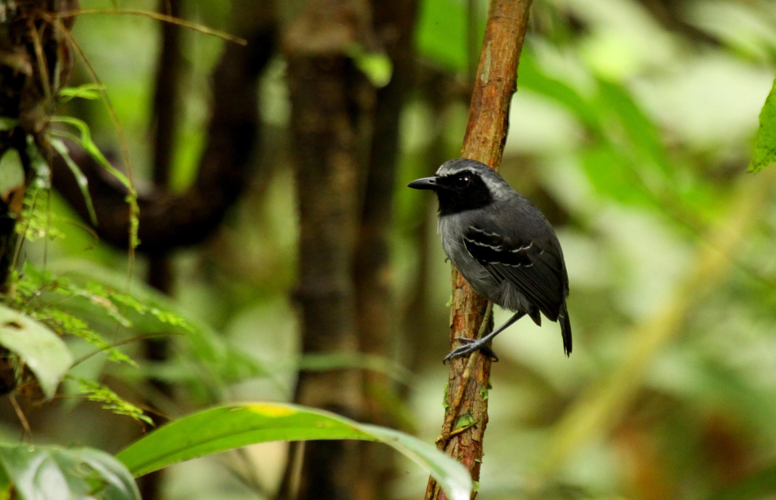 Black-faced Antbird; found following Army Ants Swarm