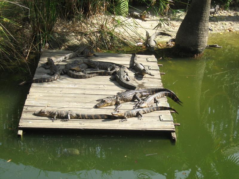 Henderson Beach State Park Fudpucker S Gator