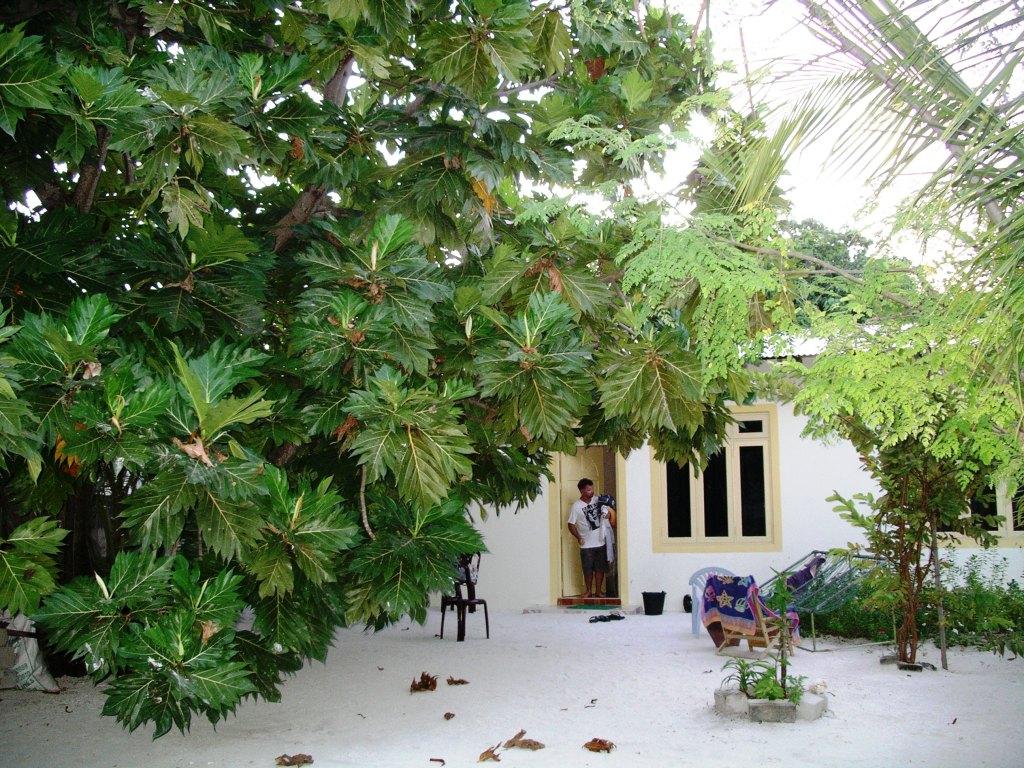 Maldive Due Palme