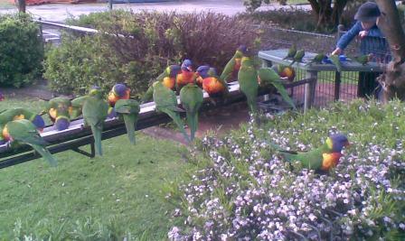 Feeding Wild Rainbow Lorrikeets