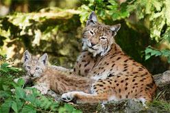 Tier-Freigelande - Nationalpark Bayerischer Wald