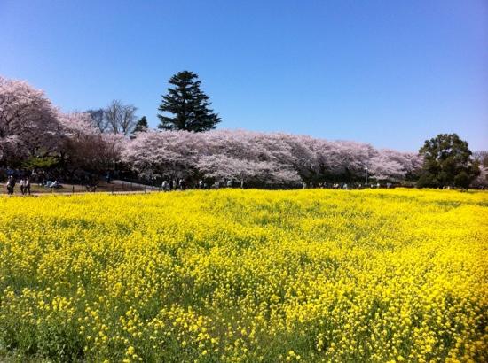 Gongendo Sakura Tsutsumi