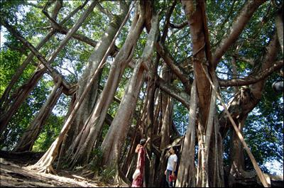 China Banyan King