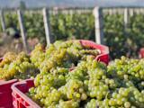 Rongchen Vineyard