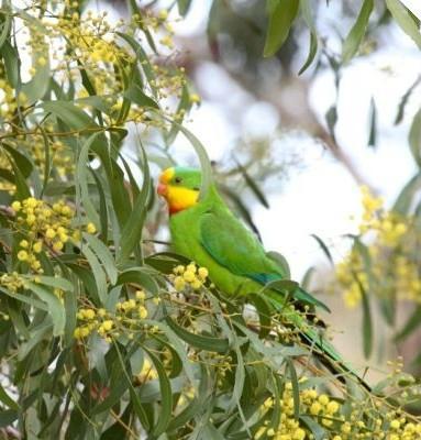 Superb parrot in Golden Wattle