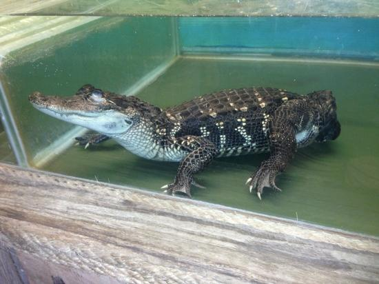 Insta-Gator Ranch & Hatchery