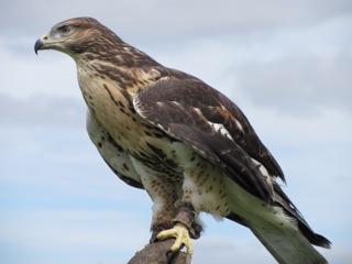 Dartmoor Hawking Falconry Experience